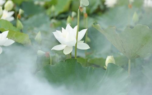 Chiêm ngưỡng đầm sen trắng độc nhất có 1-0-2 tại Hà Nội